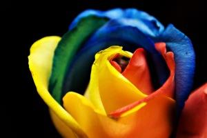 Rainbow_Rose_(3366550029)