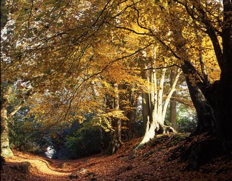 Beech-woods-Surrey_g