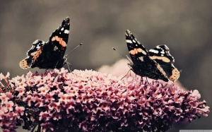 two_beautiful_butterflies-wallpaper-2560x1600