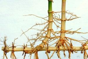 running-bamboo-rhizome-lg