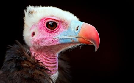 carrion_bird_beak_color_bird_predator