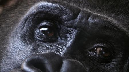 wallpaper-eyes-of-gorilla