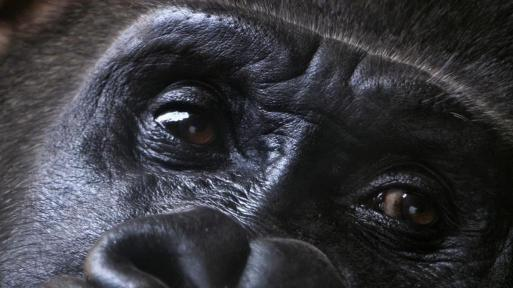 wallpaper-eyes-of-gorilla